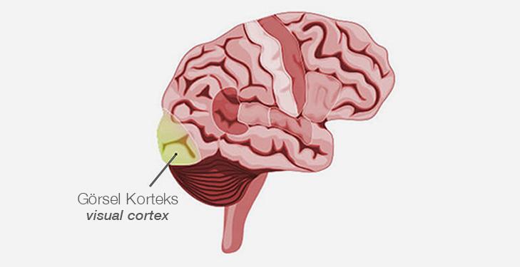 vector brain, visual cortex area