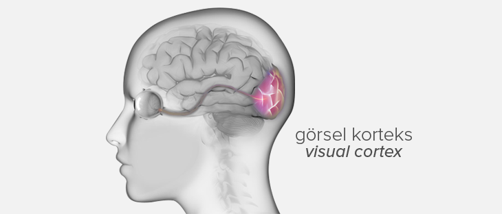 brain and visual cortex