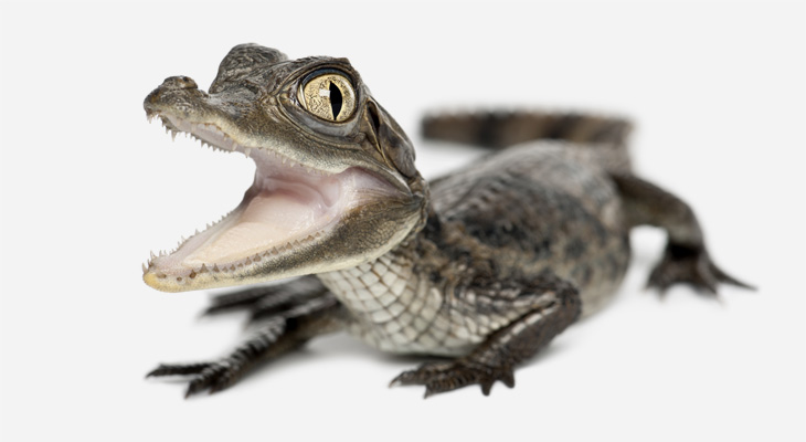 Baby lizard crocodile with open mouth