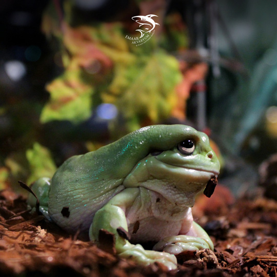 emaar aquarium green frog photo